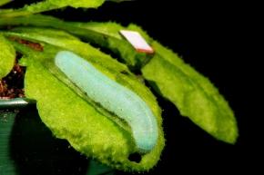 Pieris on Arabidopsis (Arabivibe project) - (C) Hannah Baldwin, LSC