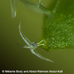 Trichome on Arabidopsis thaliana leaf. © Melanie Body and Abdul-Rhaman Abdul-Kafi – Arabivibe project