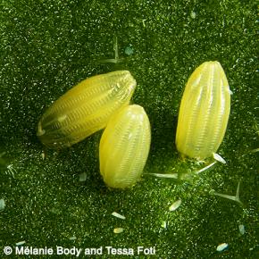 Pieris rapae eggs on Arabidopsis thaliana leaf. © Melanie Body and Tessa Foti – Arabivibe project
